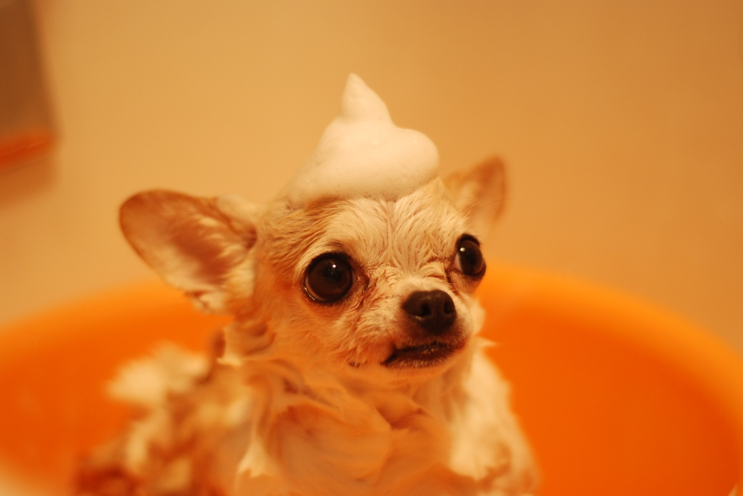 chihuahua bath.jpeg